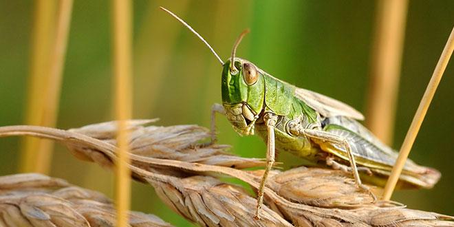 Photo of एक दिन में 35 हजार लोगों का भोजन चट कर सकता है ये कीट